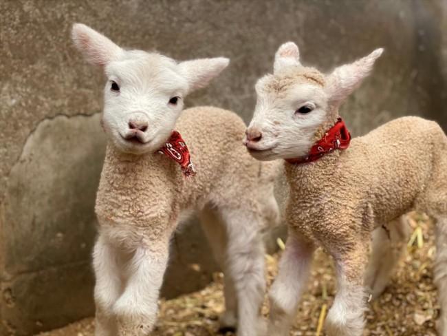 ハーベストの丘子羊たち